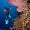 Barrel Sponge, Black Coral and Diver   _D854427