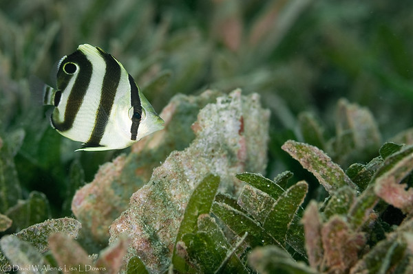 Banded Butterflyfish, juvenile