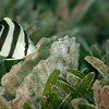 Banded Butterflyfish, juvenile  DWA_2784