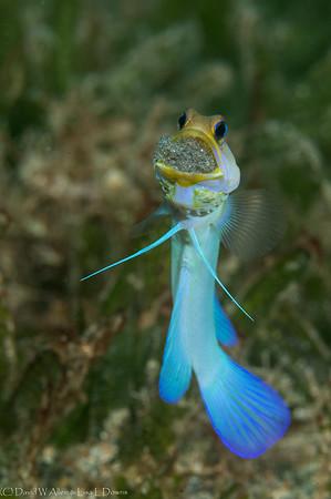 Bluebar Jawfish  _D855283