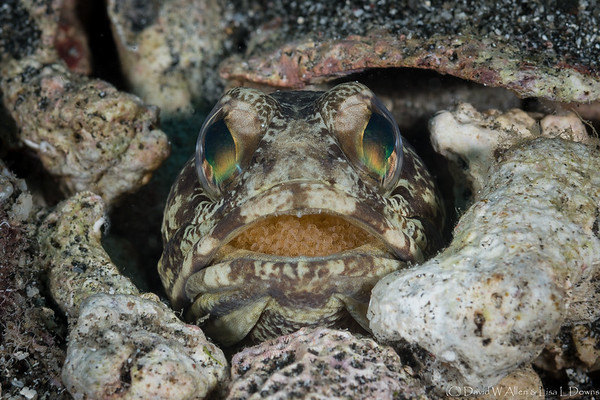 Banded Jawfish with Eggs (Male)   _D754496