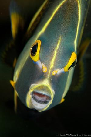 French Angelfish (intermediate phase)