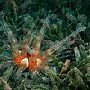 Magnificient Urchin in Seagrass