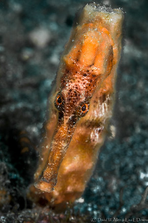 Longsnout Seahorse   _D753420