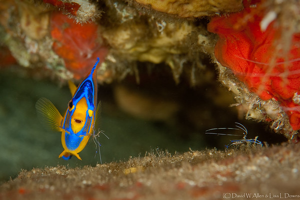 Queen Angelfish (juvenile) with attending Pederson Cleaner Shrimp  DWA_2188