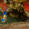 Queen Angelfish (juvenile) with attending Pederson Cleaner Shrimp