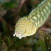 Sharptail Eel DWA_2635