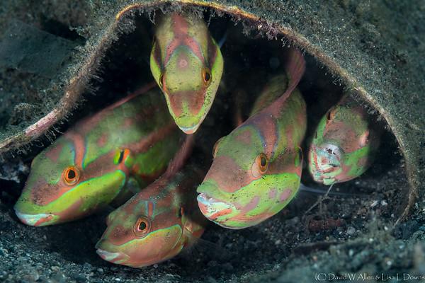 Juvenile Parrotfish  _D754714