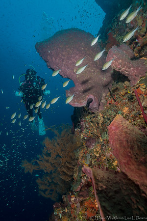 Black Coral, Barrel Sponge, Brown Chromis and Diver  _D854425