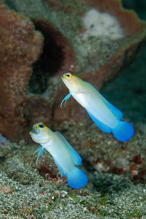 Yellowhead Jawfish, mated pair, male harboring eggs in his mouth
