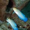 Bluebar Jawfish, mated pair  DWA_1868