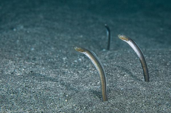 Brown Garden Eels