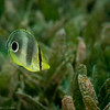 Foureye Butterflyfish, juvenile