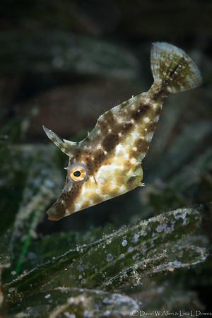 Slender Filefish _D754526