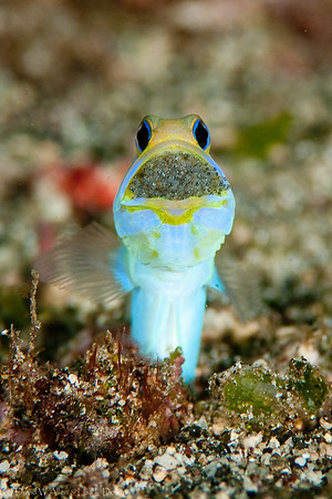 Bluebar Jawfish DWA_2644