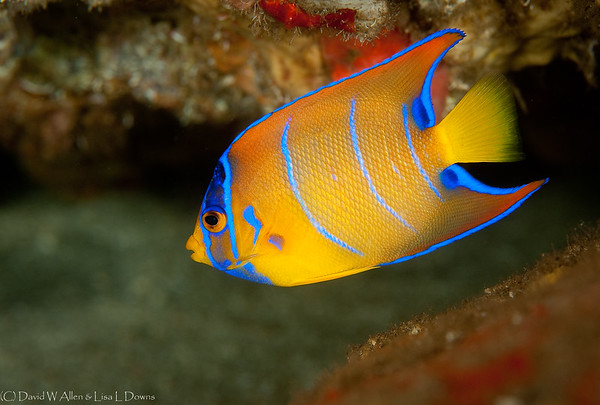 Queen Angelfish, juvenile