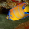 Queen Angelfish, juvenile  DWA_2189
