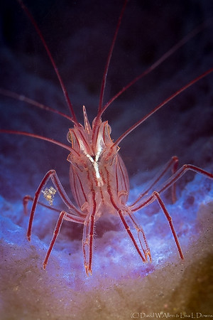 Peppermint Shrimp in Azure Vase Sponge  _D753328
