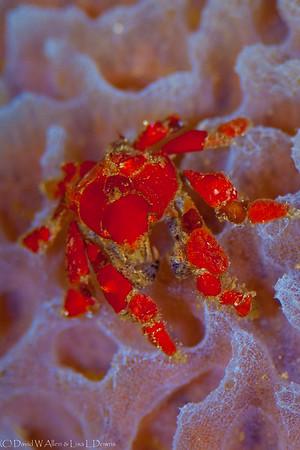 Cryptic Teardrop Crab on Azure Vase Sponge DWA_2659