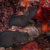 Black Brotula Pair  _D753369