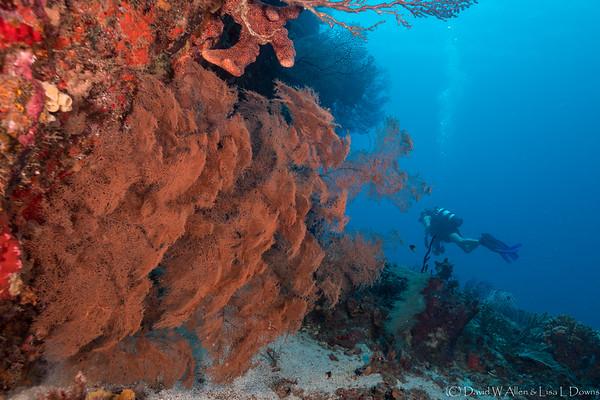 Gorgonian Fan Coral & Diver _D853725
