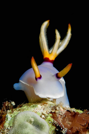 A nudibranch