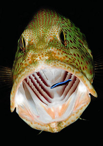 Grouper is being cleaned by a cleaning fish (award winning image)