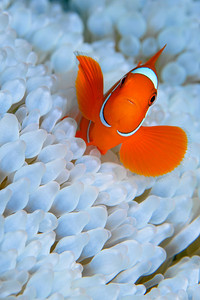 An anemone fish sits in it's anemone. The anemone has been bleached.