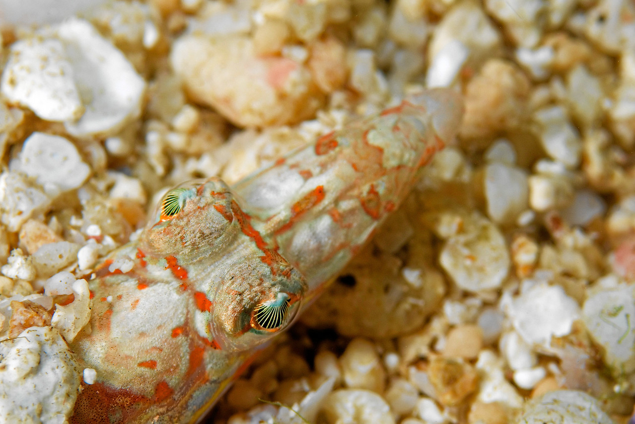 A sand diver hiding in the sand. Its eyes are especially pretty.
