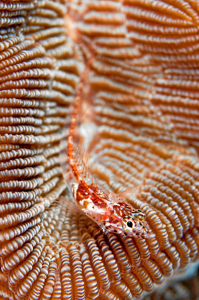 A triple fin goby resting on hard coral.