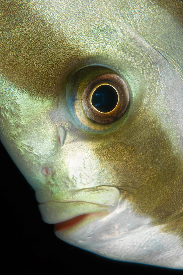 Close up of a spade fish.