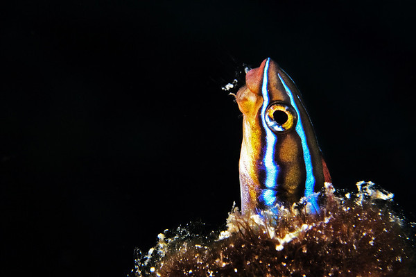 A small fish is cleaning out its hole.