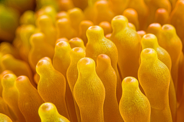 An abstract close up of anemone tentacles.
