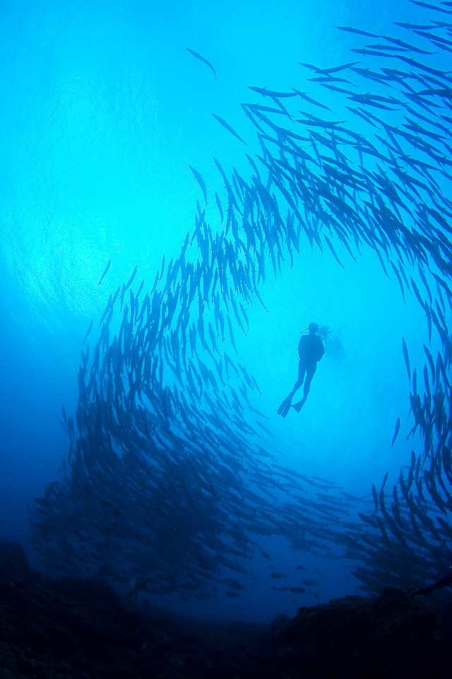 A diver swims through a school of barracudas.