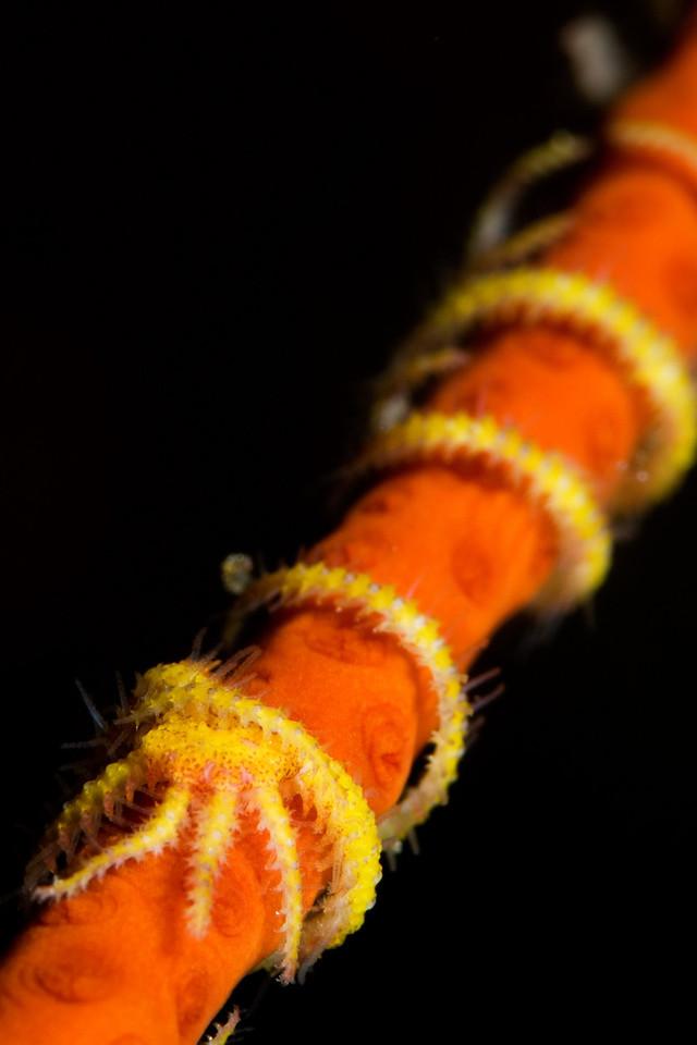 A brittle star had wound itself around a sea whip.
