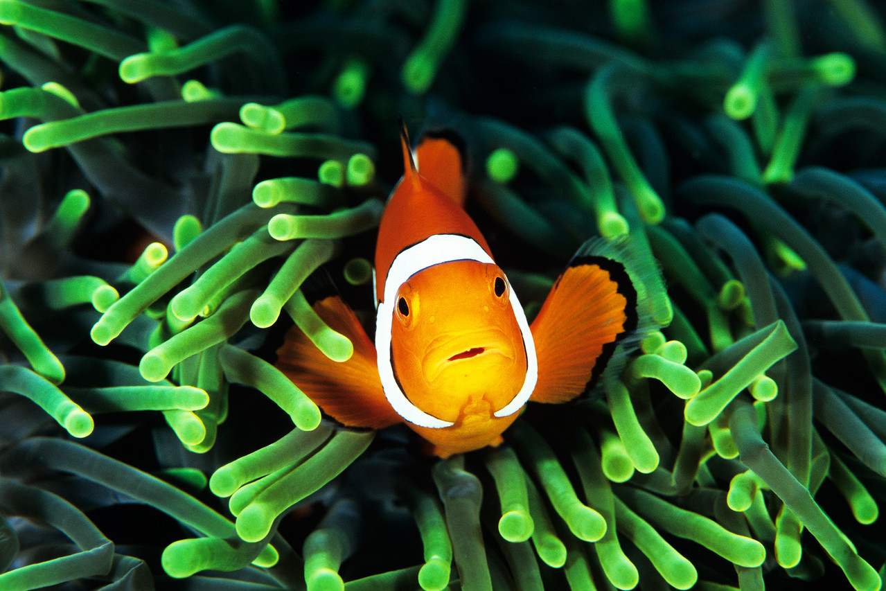 An anemone fish is protected by its host anemone.
