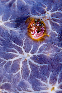 A hermit crab is hiding in a hole surrounded by purple encrusting sponge (award winning image)