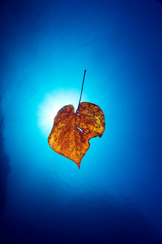 A leaf floating in the ocean.