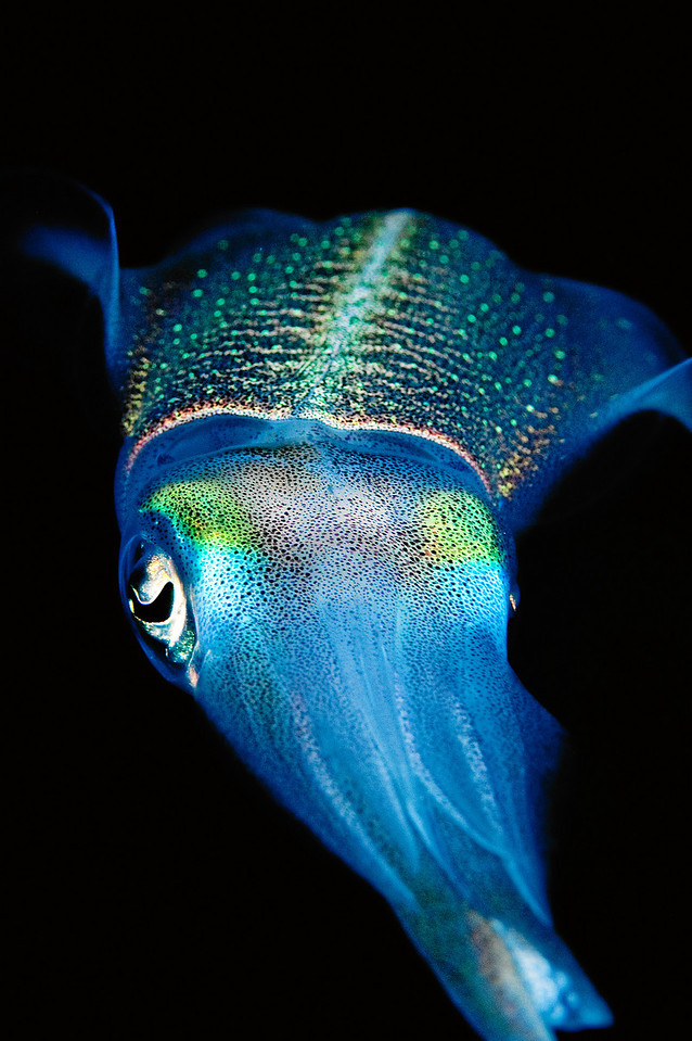 A reef squid at night.