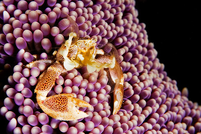 A porcelain crab feeds on top of an anemone.