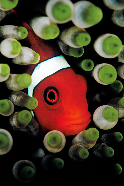 An anemone fish is hiding in its host anemone.