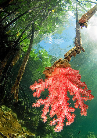 A soft coral in the mangroves (award winning image)