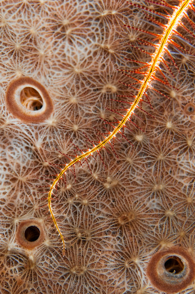 A brittle star sits on a sponge.