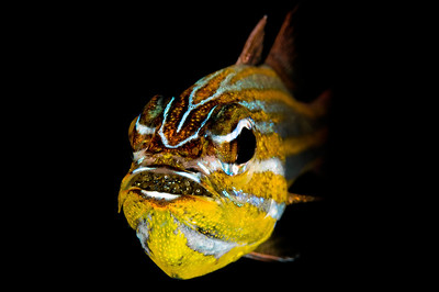 A cardinal fish with eggs in its mouth