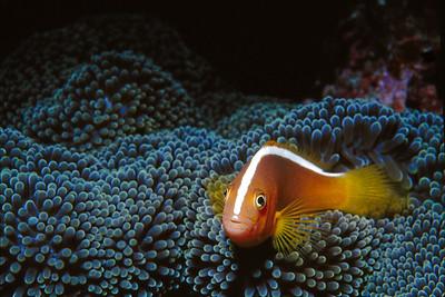 An anemone fish sitting on its anemone.