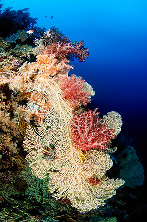 A sea fan covered in soft corals.