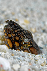 A sea snake hiding in the sand.