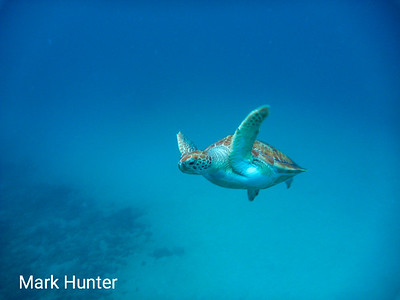 Green Turtle Flying By