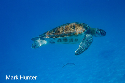 Green Turtle Above, Fish Below