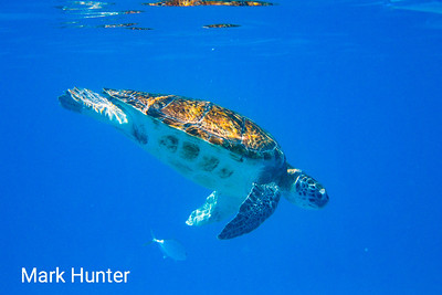 Diving Green Turtle
